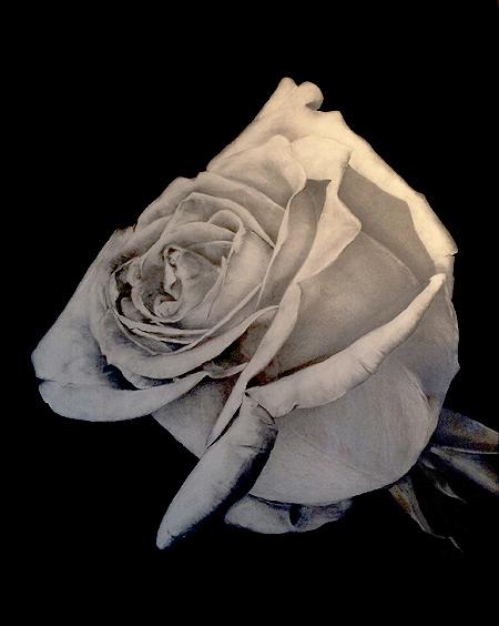 rosenrot 2
